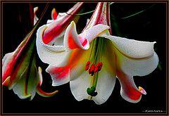 Цветы необычной красоты 107