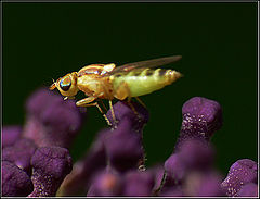 "фото ""Flye on ""Buddleja davidii"""""