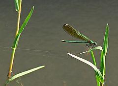 "фото ""Georgian Green Dragonfly"""