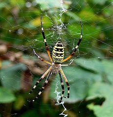 "фото ""Georgian Argiope Spider"""