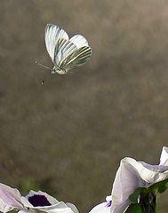 """фото """"Pieris brassicae In Flight"""""""