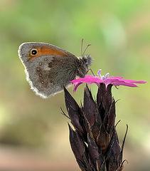 фото Сенница обыкновенная Coenonympha pamphilus