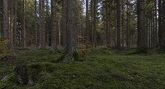 фото В еловом лесу
