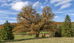 фото Одинокий дуб