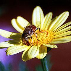 "photo ""Bee on a Daisy"""