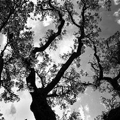 """фото """"Dancing Trees"""""""