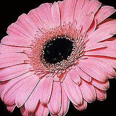 "photo ""Pink Daisy"""
