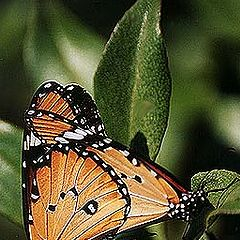 "photo ""Mating Butterfly"""