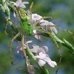 """фото """"Зеленый паучек"""""""