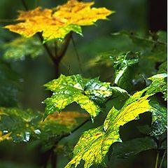 """фото """"Ступеньки мокрых листьев"""""""