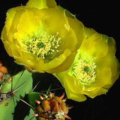 "photo ""Cactus Blossoms 2"""