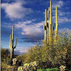 "photo ""Arizona Saguaro Cactus at Sunset"""