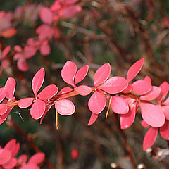 """photo """"Red leaves 2"""""""
