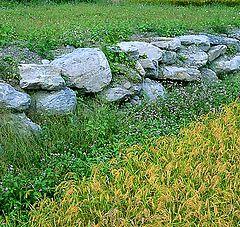 "photo ""Small Rice field"""