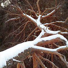 """фото """"Fallen tree"""""""