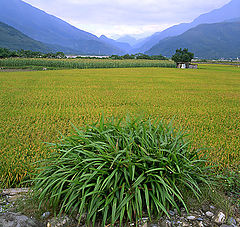 """photo """"The Rice Field in the east of Taiwan"""""""