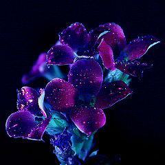 "photo ""Moon Flowers"""