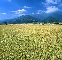 "photo ""Great rice field"""