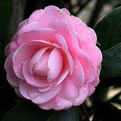 "фото ""Pink Lady"""