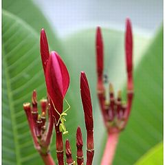 """фото """"Baby Mantis"""""""
