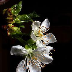 """photo """"Blossom 1"""""""