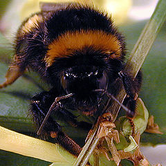 """photo """"Face of a bee"""""""