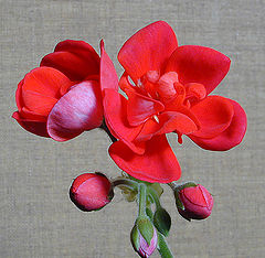 """photo """"Red Flowers"""""""
