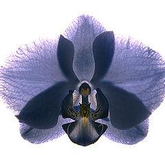 "фото ""Орхидеи. Синее."""
