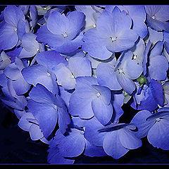 "photo ""Blue flowers"""