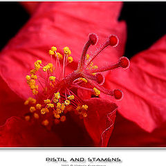 """photo """"Something about pistils and stamens :)"""""""