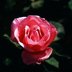 "photo ""Rose # 2"""