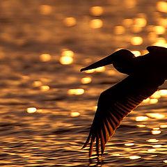 """фото """"Golden Wings"""""""