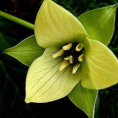 "photo ""Yellow Trillium...."""