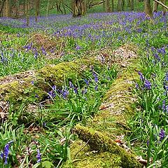 "фото ""English Bluebell Wood"""