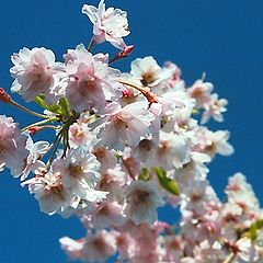 "фото ""Celebration of Spring in Pink and Blue"""