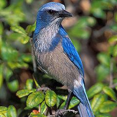 """фото """"Florida Scrub Jay"""""""