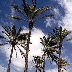 "фото ""Palm Trees # 6"""