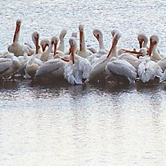 "фото ""A Gathering of Pelicans"""