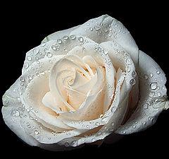 """фото """"Белая роза"""""""