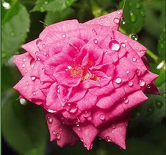 "фото ""Чайная роза"""