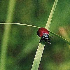 """фото """"Красный на зеленом перекрестке (Bug stop)"""""""