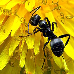 """photo """"Ant on a Dandelion"""""""
