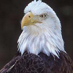 """фото """"American Bald Egale"""""""