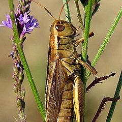 """photo """"Mocha Grasshopper"""""""