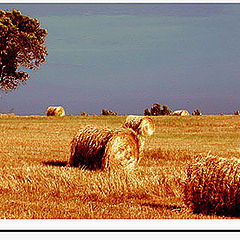 "photo ""golden field"""
