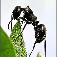 "photo ""The uppitty Ant"""