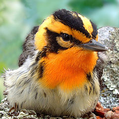 "photo ""Blackburnian Warbler - Portrait"""