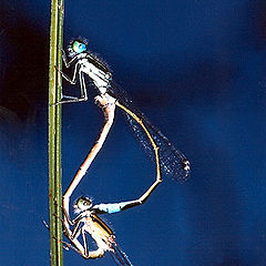 "photo ""Dragonfly sex"""