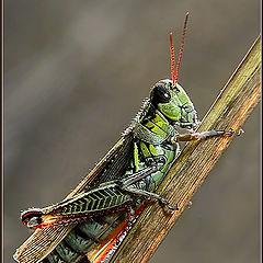 "photo ""Backlit Grasshopper"""