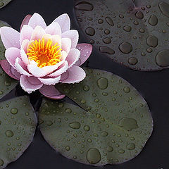"photo ""waterlily"""